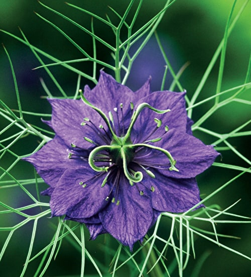 Nigella damascena 'Deep Blue'