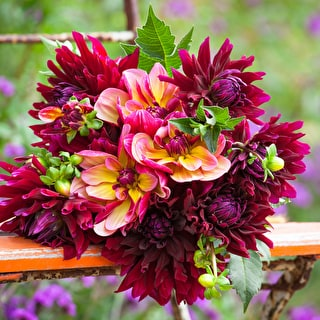 Shot Silk Dahlia Collection