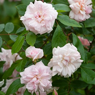 Rose 'Queen of Denmark'