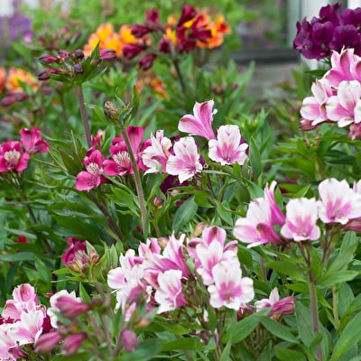 Cool and Fresh Alstroemeria Collection