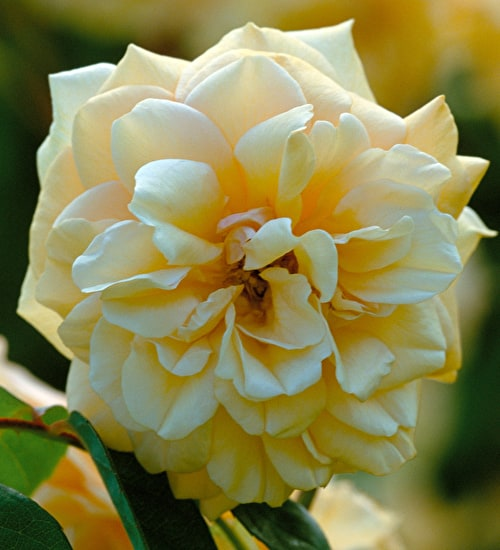 Rose 'Buff Beauty'