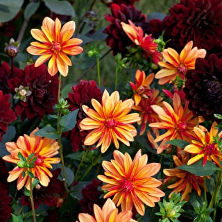 Brilliant Dahlia Collection