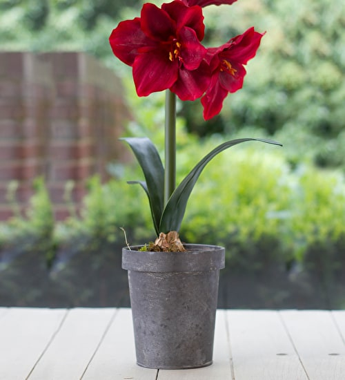 Potted Amaryllis in Vintage Zinc Pot Gift Set