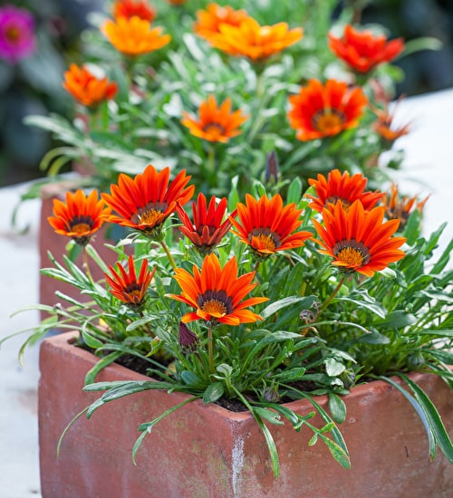 Gazania 'New Day Bronze Shades' F1