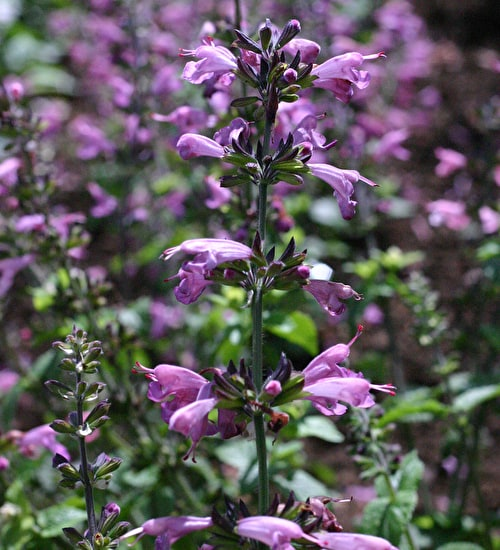 Salvia coccinea 'Summer Jewels Lavender'
