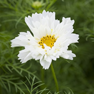 White Cosmos Collection