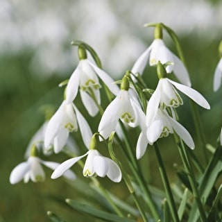 Snowdrop Collection for Naturalising