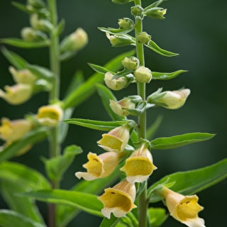 Digitalis 'Spice Island'