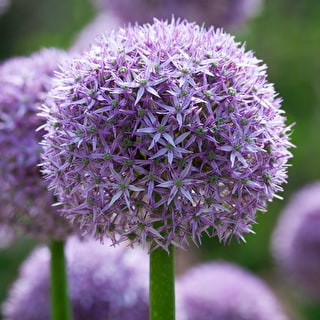 Bumper Border Allium Collection