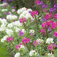 Cleome 'Colour Mix'