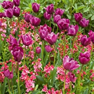 Tulip 'Recreado' & Wallflower 'Giant Pink'