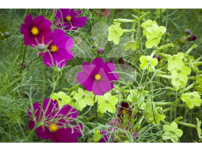 Cosmos and Nicotiana Collection (2 packets of seed)