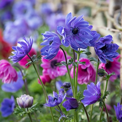 Anemone coronaria 'St Brigid Double Mix'