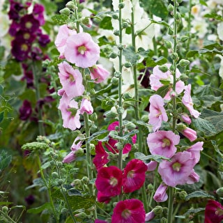 Alcea rosea 'Giant Single Mixed'