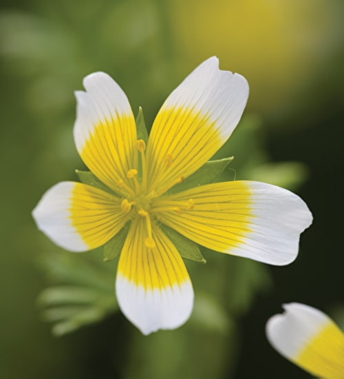 Limnanthes douglasii (Poached Egg Plant)