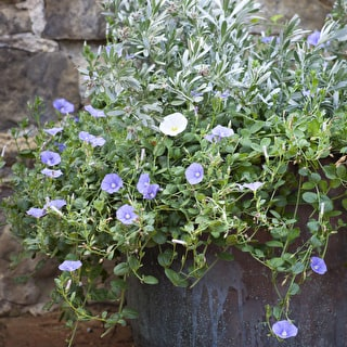 Blue and White Perennial Pot Collection