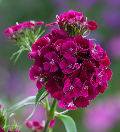 Dianthus 'Sweet Purple'