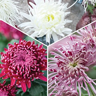 Raspberry Ripple Chrysanths Collection