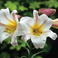 Scented Lily Collection