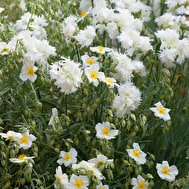 Dianthus and Helianthemum Collection