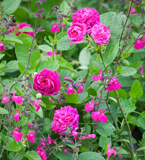 The Salvia and Rose Collection