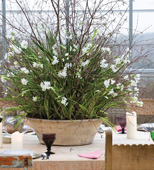 Scented Indoor Narcissus Collection