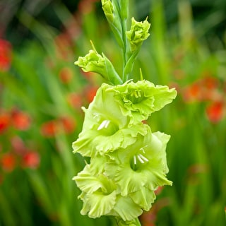 Gladiolus 'Evergreen'