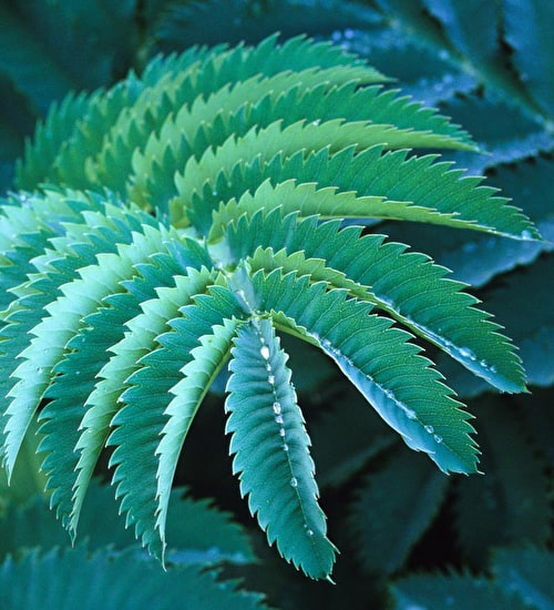 Melianthus 'major'
