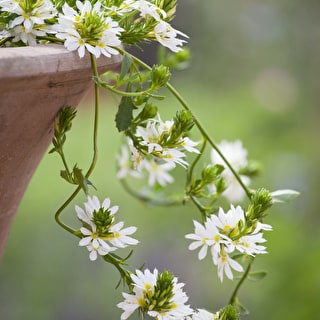 Scaevola 'White Wonder'