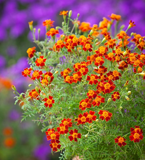Tagetes 'Red Gem'