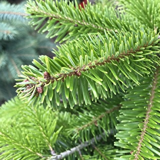Potted Mini Nordmann Fir