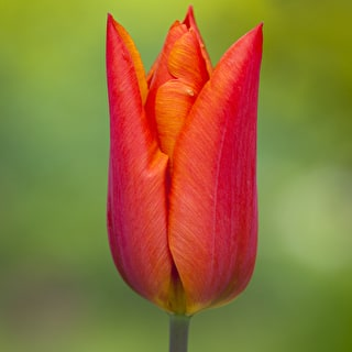 Tulip 'Veronique Sanson'