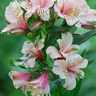Alstroemeria 'Peaches and Cream'