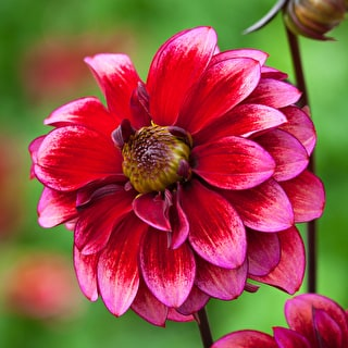 Monet Dahlia Collection