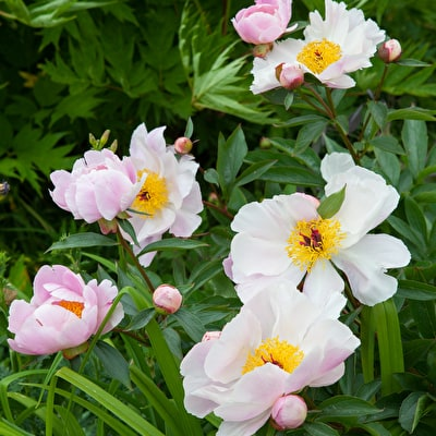 Peony 'Garden Lace'