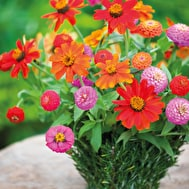 Miniature Zinnia Collection