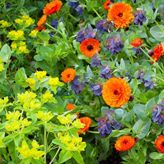 Calendula, Cerinthe and Euphorbia SPECIAL OFFER