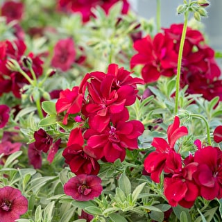 Pelargonium 'Precision Burgundy Red'