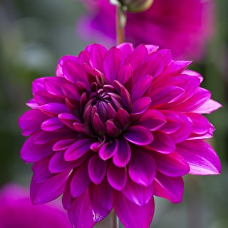 Velvet Dahlia Collection