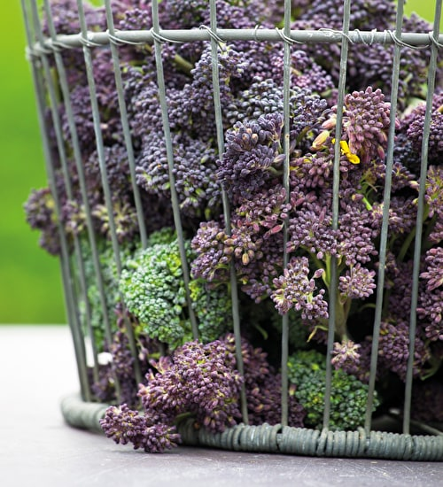 Purple Sprouting Broccoli 'Red Arrow'