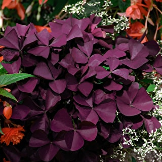 Oxalis triangularis Xalis 'Burgundy Wine'