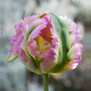 Tulip 'Green Wave'