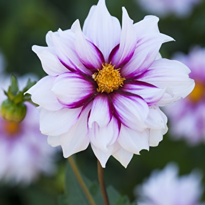 Dahlia 'Edge of Joy'