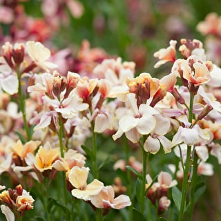 Wallflower 'Sunset Apricot'