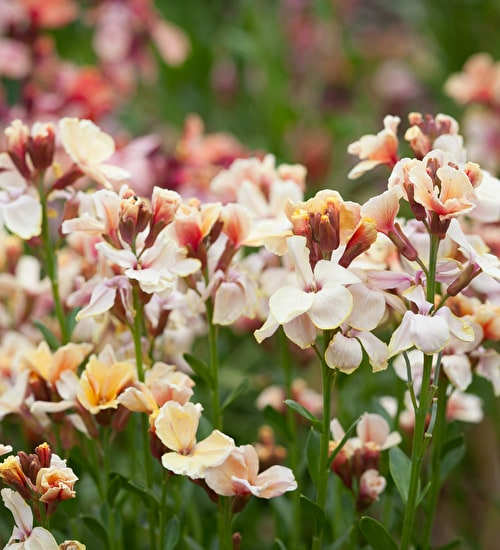 Wallflower cheiri 'Sunset Apricot'