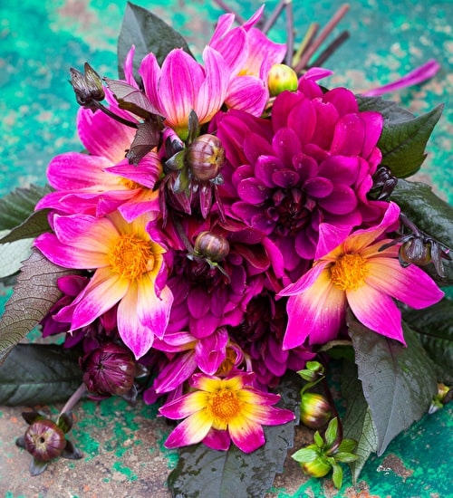 Bright Eyes Dahlia Collection