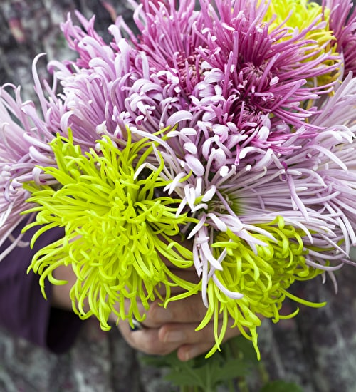 Sea Urchin Chrysanths Collection