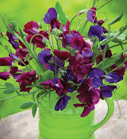 Venetian Sweet Pea Mix