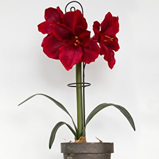 Decorative Amaryllis Support