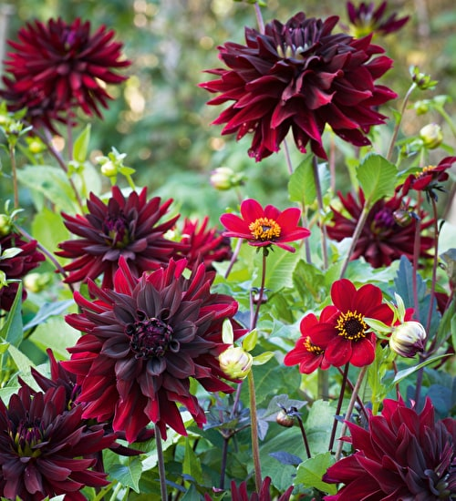 The Sublime Dark Dahlia Collection